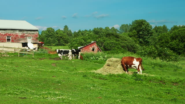 Cows in Field.