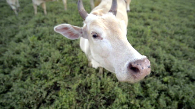 cows in green field - beef stock videos & royalty-free footage