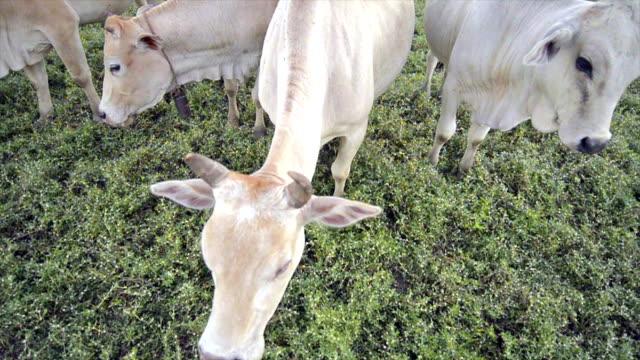 vidéos et rushes de vaches dans un champ vert - tête composition