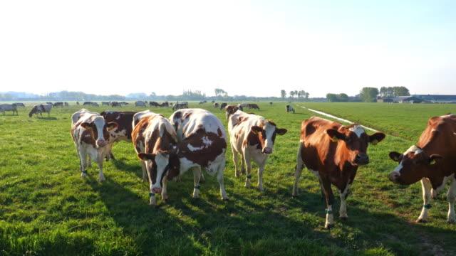 kühe auf grüner graswiese unter blauem himmel - grasen stock-videos und b-roll-filmmaterial