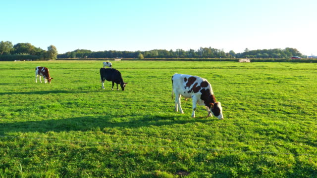 cows  in green meadow. - domestic cattle stock videos & royalty-free footage