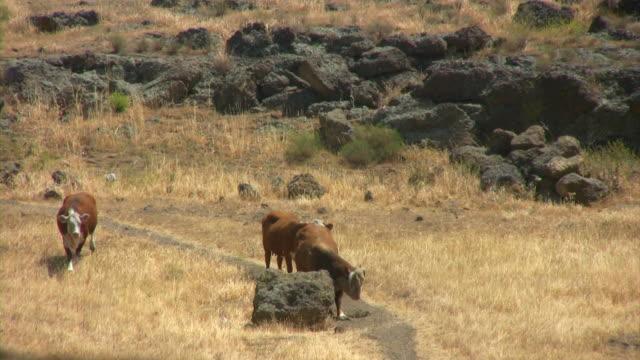 cows in june v.2 (hd) - liten djurflock bildbanksvideor och videomaterial från bakom kulisserna