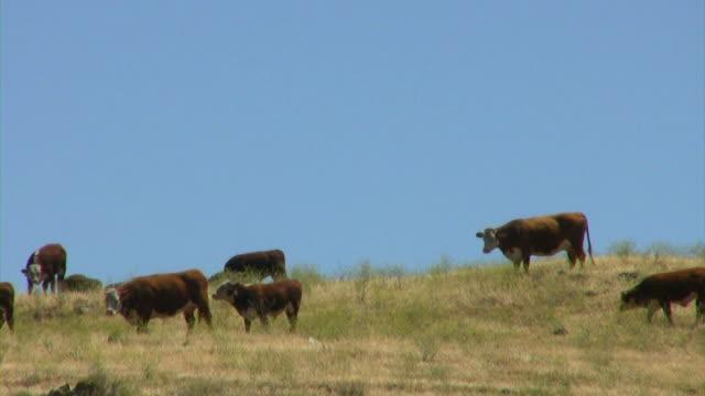 stockvideo's en b-roll-footage met cows in june (hd) - middelgrote groep dieren