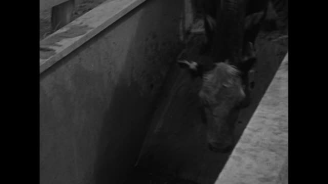 cows in line in pen walk to pool of liquid flea dip / cows jump in swim across and walk out / cattle walking / note exact day not known - flea insect stock videos and b-roll footage