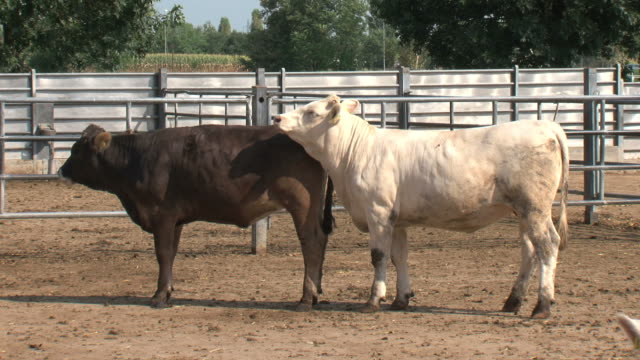 cows in love - two animals stock videos and b-roll footage