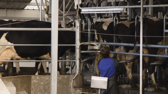 t/l cows in milking parlour, new zealand - dairy product stock videos & royalty-free footage