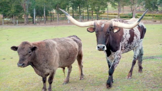 stockvideo's en b-roll-footage met koeien in de natuur - texas longhorn