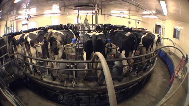 ws zo cows in organic dairy farm / columbus, wisconsin, usa - agricultural equipment stock videos & royalty-free footage