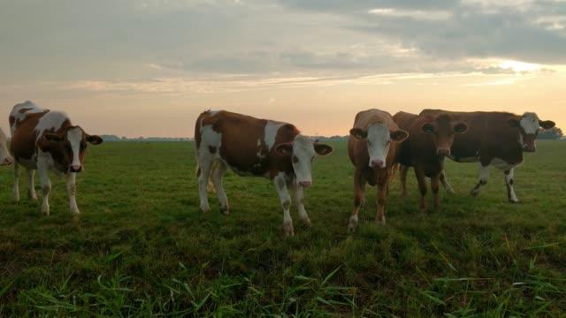 kühe auf der weide bei sonnenuntergang - rind stock-videos und b-roll-filmmaterial