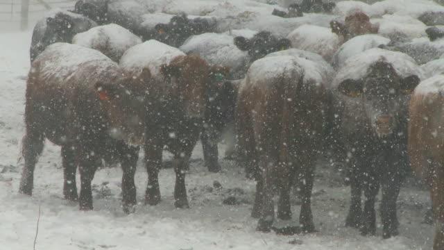 牛の雪の嵐 - 家畜牛点の映像素材/bロール