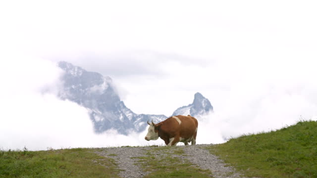 cows in the alps - cow stock videos & royalty-free footage