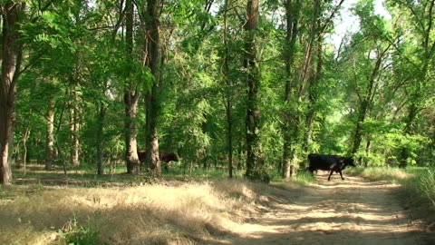 stockvideo's en b-roll-footage met cows in the forest - staring