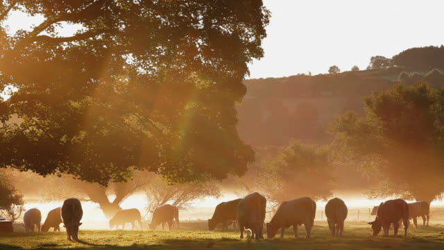 vídeos de stock, filmes e b-roll de cows in the mist at dawn usk valley nr usk, south wales, uk, europe - país de gales