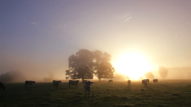 Cows in the mist at dawn Usk Valley nr Usk, South Wales, UK, Europe