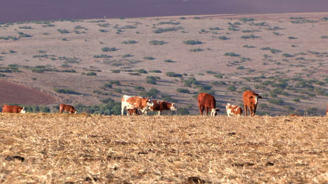 cows in the pasture - eyal bartov stock videos and b-roll footage