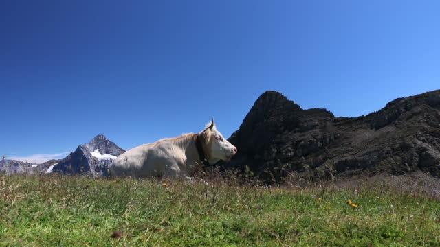 Cows lounge in alpine field