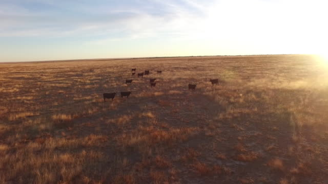 drone cows low wrap around sun flare beautiful - 4k drone tracking aerial view wildlife herd hunting, deer, elk, bison, hawk, buck, cows, bird, buffalo, directors choice, editors choice, magic hour, sun flare, grassland, epic - bird hunting stock videos & royalty-free footage