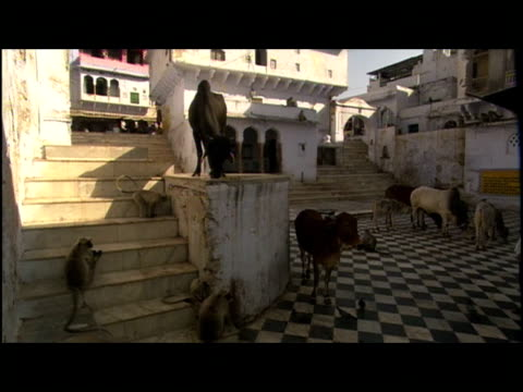 cows, monkeys and birds populate a courtyard in india where pedestrians pass. - courtyard stock videos & royalty-free footage