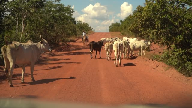 vídeos de stock e filmes b-roll de cows moving in countryside road in brazil - rancho quinta