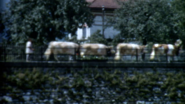 cows on a bridge 1950's - archives stock videos & royalty-free footage