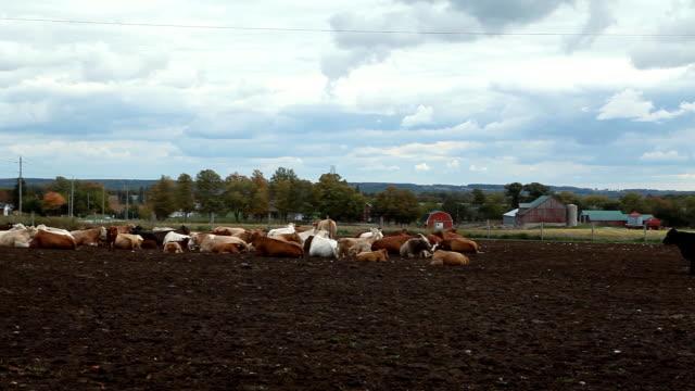 kühe auf einer farm fläche - pferch stock-videos und b-roll-filmmaterial