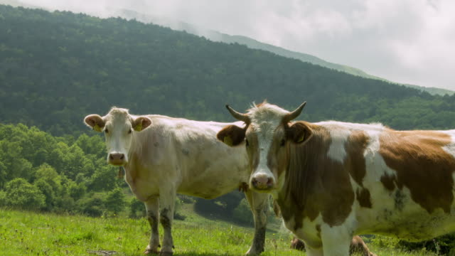 kühe auf der grünen wiese - graspflanze stock-videos und b-roll-filmmaterial