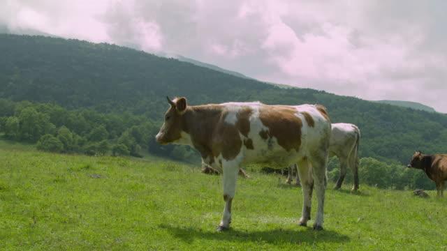 kühe auf der grünen wiese - pasture stock-videos und b-roll-filmmaterial