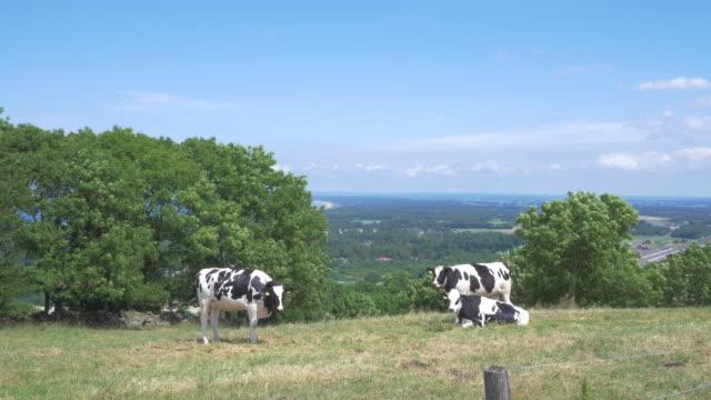 kühe auf der wiese in schweden. - kamerafahrt mit dolly stock-videos und b-roll-filmmaterial