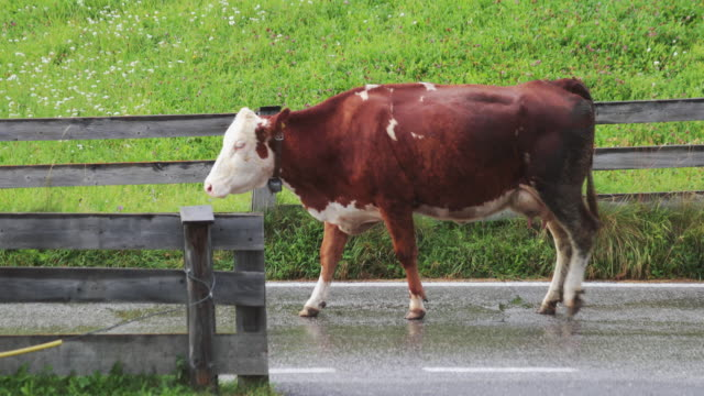 cows on a road, walking through - cow stock videos & royalty-free footage