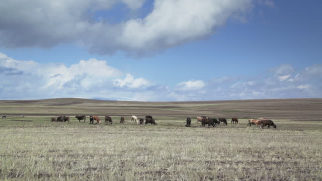 cows on a wide field with mountains in the background in eastern anatolia. - anatolia stock videos and b-roll footage