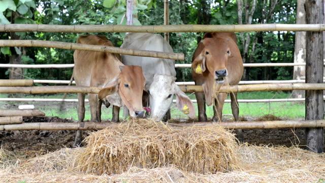 vídeos de stock e filmes b-roll de vacas na exploração - gado holstein friesian