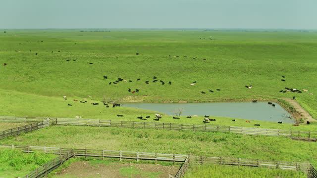cows on kansas prairie - aerial - livestock stock videos & royalty-free footage