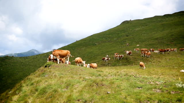 cows on mountain meadow - cow stock videos & royalty-free footage