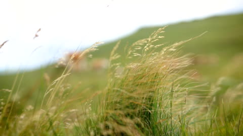 cows on mountain meadow - grazing stock videos & royalty-free footage