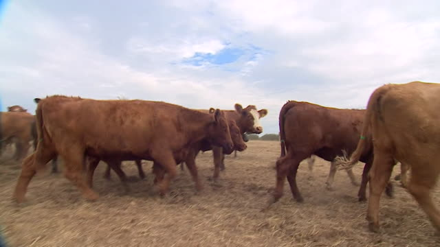 cows on parched, dried-out land during the uk heatwave - female animal stock videos & royalty-free footage