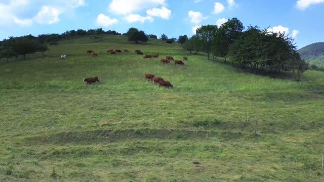 vidéos et rushes de cows on pasturage aerial view from drone - vache