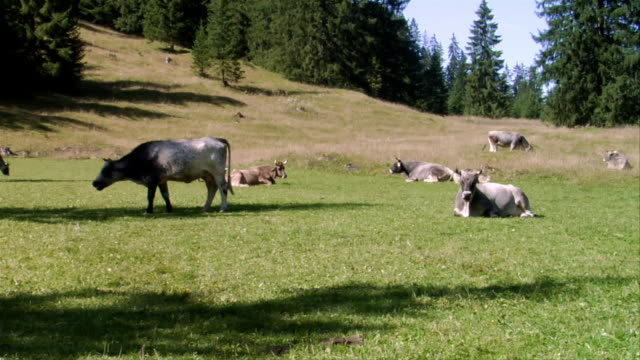 MS, Cows on pasture, Bavaria, Germany