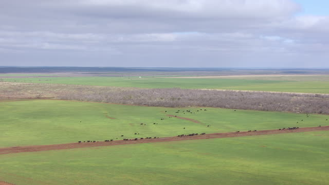ws aerial zi cows on pasture in panhandle plains at circle bar ranch / truscott, texas, united states - 牧畜場点の映像素材/bロール