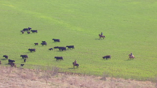 ms aerial zi cows on pasture in panhandle plains at circle bar ranch / truscott, texas, united states - 牧畜場点の映像素材/bロール