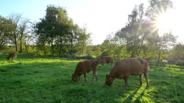 Cows on pasture in the evening, Geishohe, Dammbach, Spessart, Bavaria, Germany