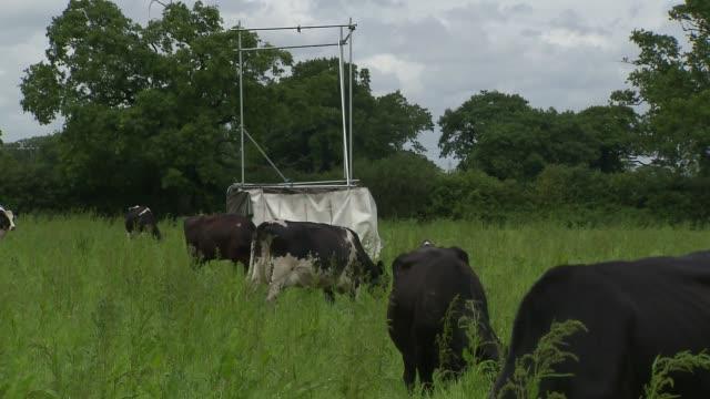 vidéos et rushes de cows on pasture - mammifère ongulé