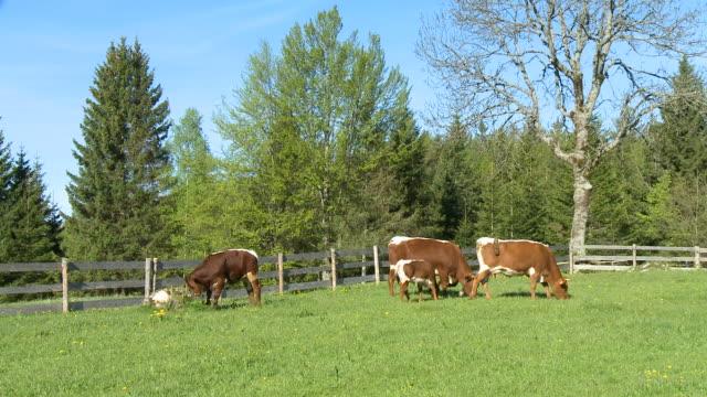 hd: kühe auf viehweide - fence stock-videos und b-roll-filmmaterial