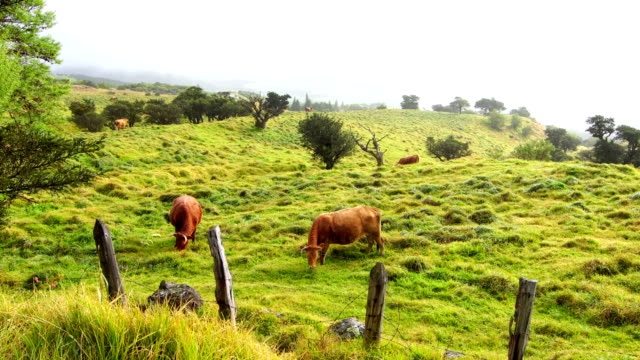 Cows on prairie, Reunion Island