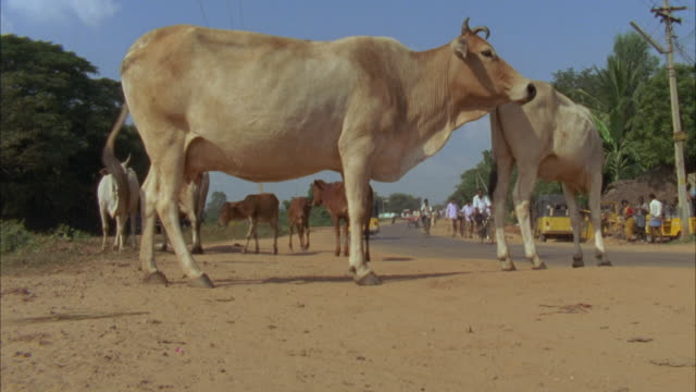 ms, la, cows (bos taurus) on roadside, madras, india - cattle stock videos & royalty-free footage