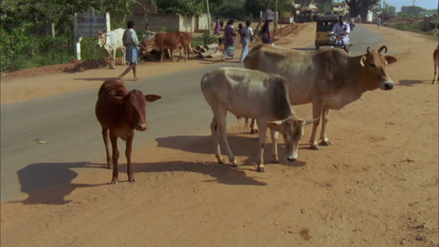 ms, ha, cows (bos taurus) on roadside, madras, india - cattle stock videos & royalty-free footage