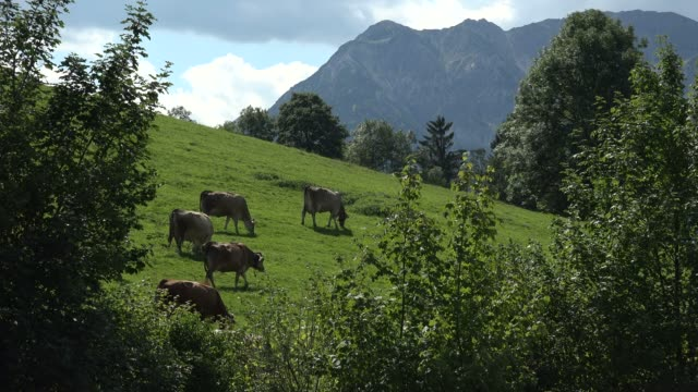 cows on sommer pasture near pfronten, allgaeu, swabia, bavaria, germany - pfronten stock videos and b-roll footage