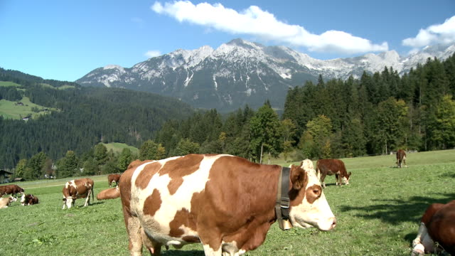 vidéos et rushes de cows on the alpine meadow - 20 secondes et plus