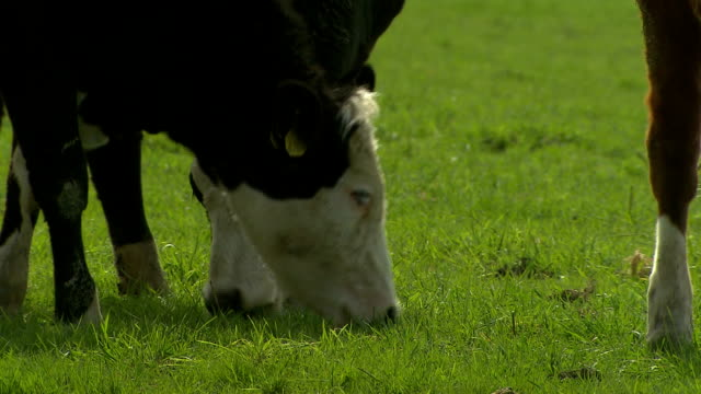 cows on the field - dutch culture stock videos & royalty-free footage