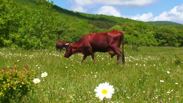 Kühe auf dem Feld und Gänseblümchen