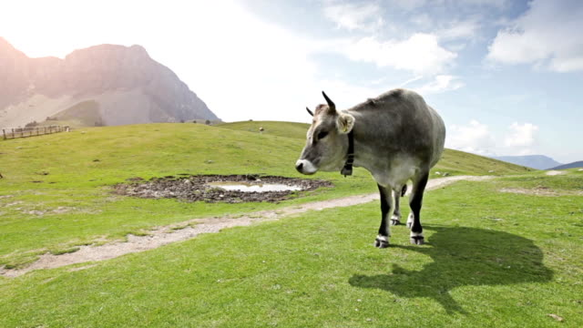 mucche in italiano dolomiti - pascolare video stock e b–roll